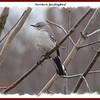 Northern Mockingbird - February 28, 2010 - Lr. Sackville, NS