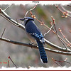 Bluejay - May 3, 2008 - Lower Sackville, NS