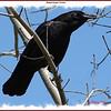 American Crow - April 20, 2008 - Sullivan's Pond, Dartmouth, NS