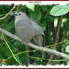 Gray Catbird - July 29, 2007 - NS