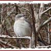 Northern Mockingbird - March 1, 2006 - Halifax, NS