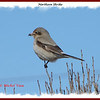 Northern Shrike - February 24, 2008 - Hartlen Point, Eastern Passage, NS