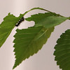 Sam Jaffe, founder and executive director of The Caterpillar Lab, and staff members bring live exhibits back to the Discovery Museum in Acton. An Eastern comma caterpillar (Polygonia comma) feeding on an elm leaf. SUN/Julia Malakie