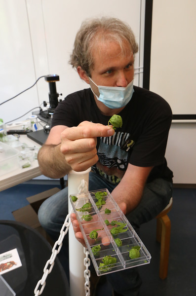 Sam Jaffe, founder and executive director of The Caterpillar Lab, and staff members bring live exhibits back to the Discovery Museum in Acton. Sam Jaffe shows fern balls, that are made by a pyralid type of caterpillar wrapping itself in fern. SUN/Julia Malakie