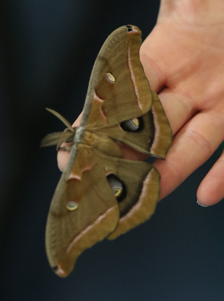 Sam Jaffe, founder and executive director of The Caterpillar Lab, and staff members bring live exhibits back to the Discovery Museum in Acton. Educator Sara Burrell of The Caterpillar Lab holds a giant silk moth.  SUN/Julia Malakie