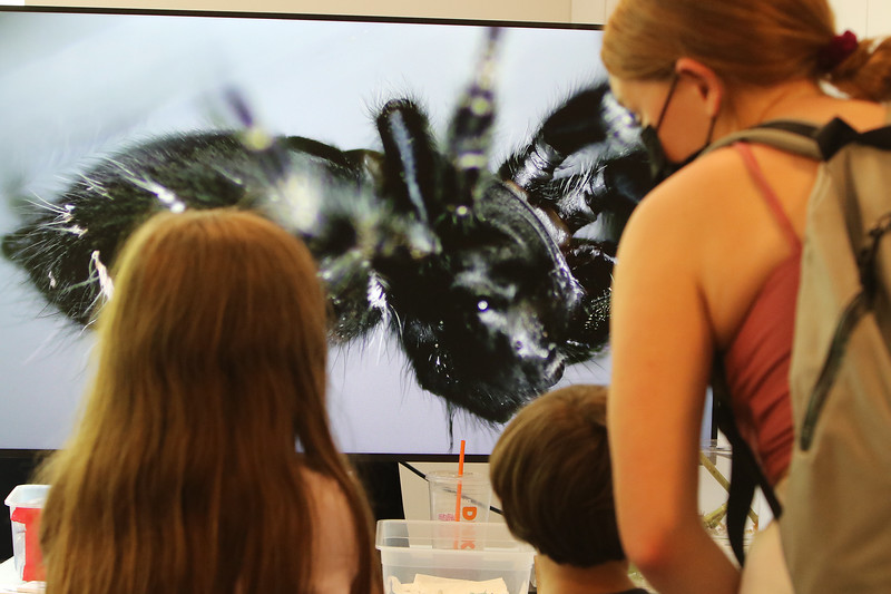 Sam Jaffe, founder and executive director of The Caterpillar Lab, and staff members bring live exhibits back to the Discovery Museum in Acton. Lily Gurga, 7, her brother Alek, 4, and their babysitter Karalyn Lundquist, all of Boxboro, watch a bold jumping spider, magnified on from digital microscope. The spider is a predator of caterpillar.  SUN/Julia Malakie