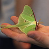 Sam Jaffe, founder and executive director of The Caterpillar Lab, and staff members bring live exhibits back to the Discovery Museum in Acton. Educator Sara Burrell of The Caterpillar Lab holds a luna moth.  SUN/Julia Malakie