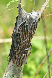 Eastern Tent Caterpillar- Big Stone NWR