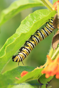 Monarch Caterpillar-Reisinger Overlook,Crex Meadows