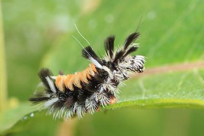 Milkweed Tiger Moth- Henry's Woods