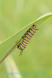 Monarch Caterpillar on Milkweed- Buggert Lake