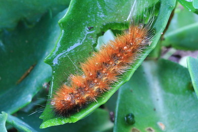 Acraea Moth Caterpillar- Fred Thomas Resort