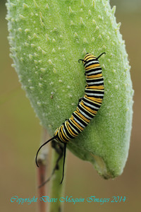 Monarch Caterpillar on Milkweed- Sherburne NWR