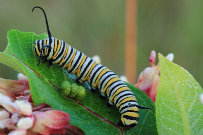 Monarch Caterpillar- Sherburne NWR