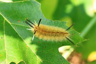 Banded Tussock Moth- Sherburne NWR
