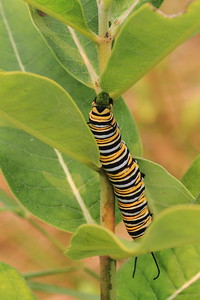 Monarch Caterpillar on Milkweed- Montissippi Park