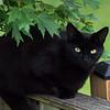 Black Cat on Fence 2013