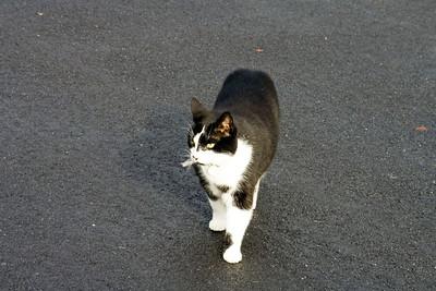 Drumoak cat