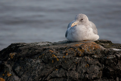 Gull Portrait.
