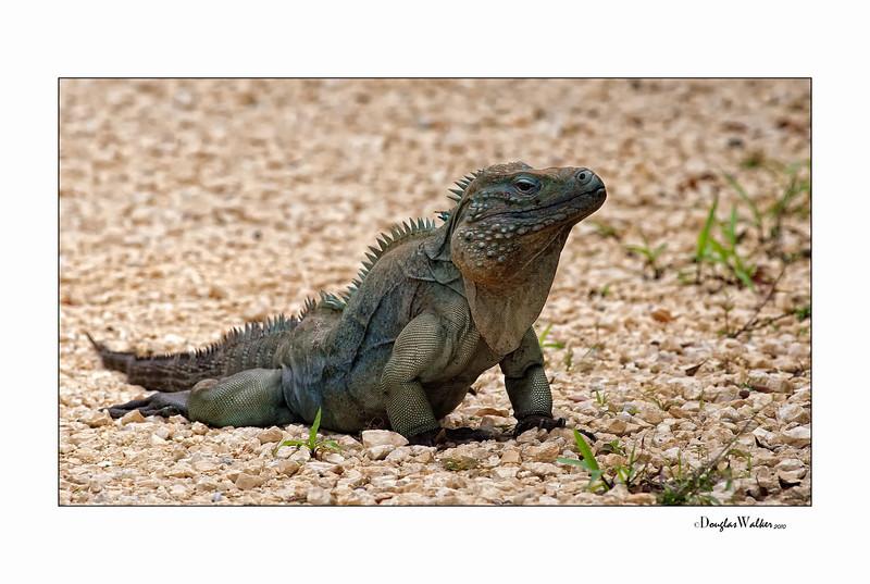 Blue Iguana - Grand Cayman Island