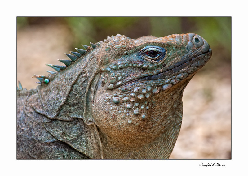 Blue Iguana - Grand Cayman Island