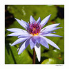 Water Lilly - Grand Cayman