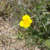Mexican poppy.