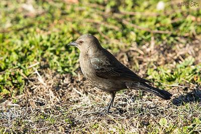 Brewer's Blackbird - Female.