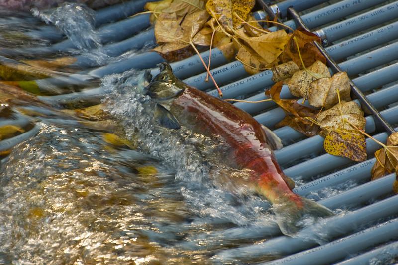 Cedar River Weir Salmon resting