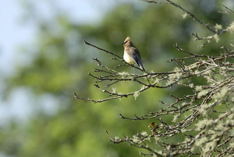 Cedar Waxwing Trustom Pond Rhode Island