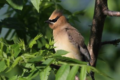 Cedar Waxwing Trempealeau NWR May 29, 2014
