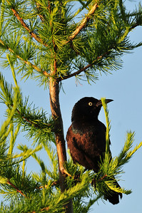 Grackle keeps an eye on things
