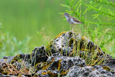 Spotted Sandpiper is king of the rock
