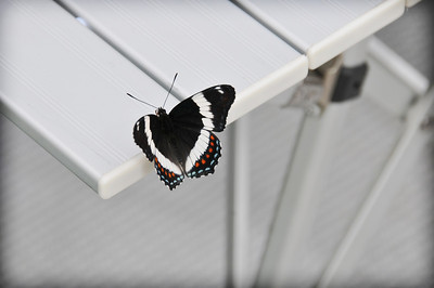 White Admiral (Limenitis arthemis arthemis) on aluminum table