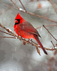 Christmas Cheer<br /> Christmas Cheer, Northern Cardinal, Mountain Meadows, Bedford County, PA