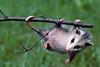 Awesome 'Possum<br /> Awesome 'Possum, Virginia Opossum, Mountain Meadows, Bedford County, PA