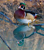 Morning Reflection<br /> Wood Duck Reflection, Mountain Meadows, Bedford County, PA