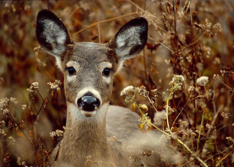 Button Buck<br /> Button Buck, York County, PA