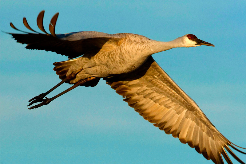 Beauty In Motion<br /> Beauty In Motion, Sandhill Crane, Bosque del Apache NWR, NM