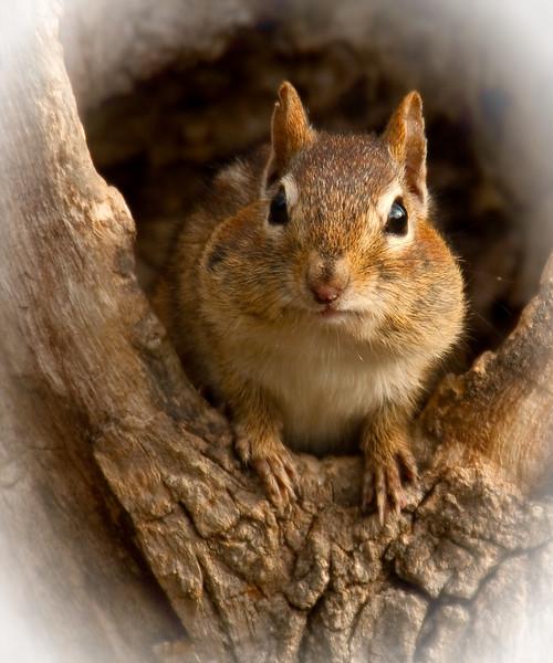 Chubby Cheeks<br /> Chubby Cheeks, Chipmunk, Mountain Meadows, Bedford County, PA
