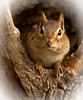 Chubby Cheeks<br /> Chubby Cheeks, Chipmunk, Mountain Meadows, Bedford County, PA