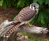 American Kestrel<br /> American Kestrel, Mountain Meadows, Bedford County, PA