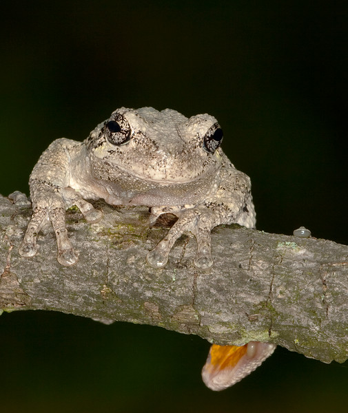 Out On A Limb<br /> Out On A Limb, Eastern Gray Tree Frog, Mountain Meadows, Bedford County, PA
