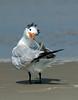 Tossed Toupée<br /> Royal Tern, Outer Banks, North Carolina