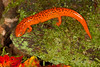 On The Prowl<br /> On The Prowl, Northern Red Salamander, Mountain Meadows, Bedford County, PA