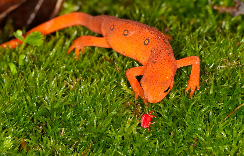 A Tasty Morsel<br /> A Tasty Morsel, Red Eft about to eat a Red Velvet Mite, Mountain Meadows, Bedford County, PA