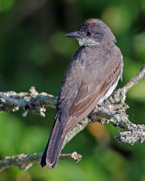 Eastern Kingbird with rarely seen red crown mark