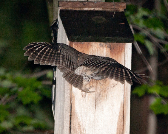 Celery Farm- Screech Owls