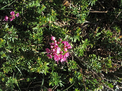 Red Heather (Phyllodoce brewerii)