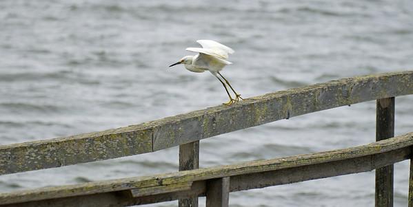 Central Coast Shore Birds